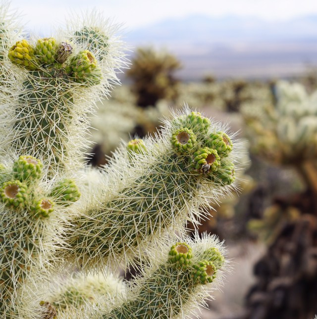 Cholla cactus in bud, Joshua Tree National Park, California, USA