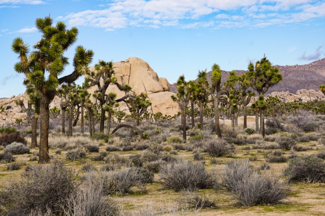 One of the most awesome things to see in Joshua Tree are the namesake Joshua trees!