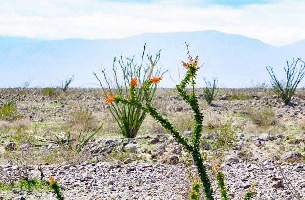 Ocotillo in bloom at Anza-Borrego State Park, California