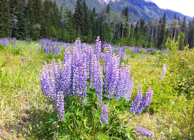 Wildflowers at Mount Robson Visitor Center, British Columbia, Canada