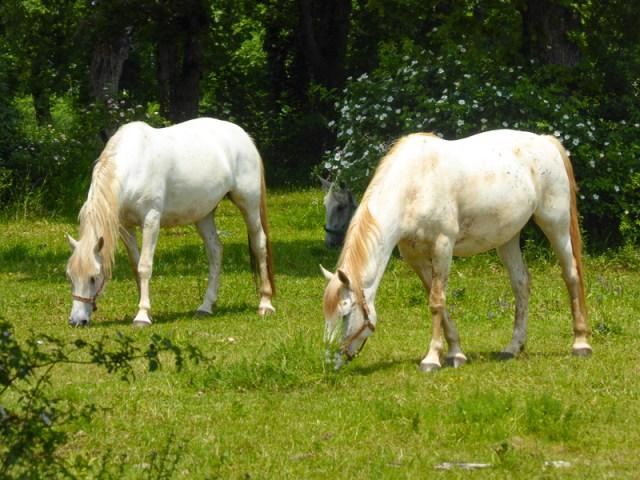Lipizzaner mares at Lipica Stud Farm in Slovenia