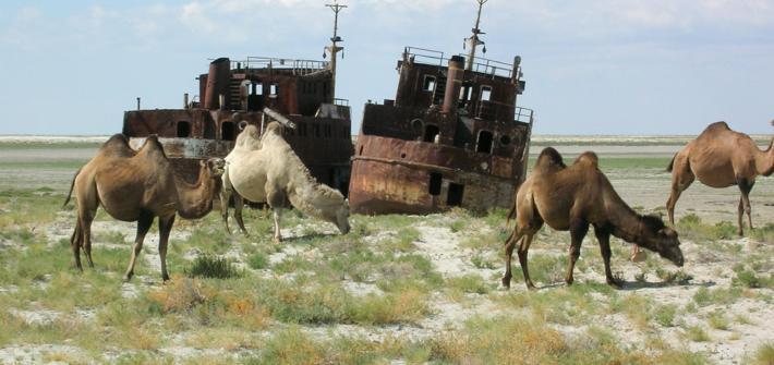 Camellos pasturando en el Mar de Aral
