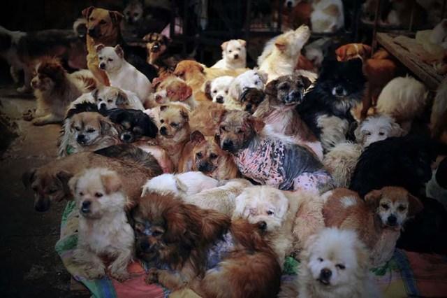 donna-saves-100-cani-Yulin-5