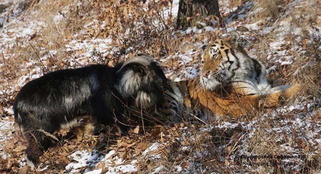 Tiger amicizia con una capra, che doveva essere il loro cibo