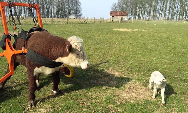 Toro rescatado tiene silla de ruedas y una oveja como amigo