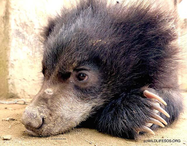 Elvis, l'orso