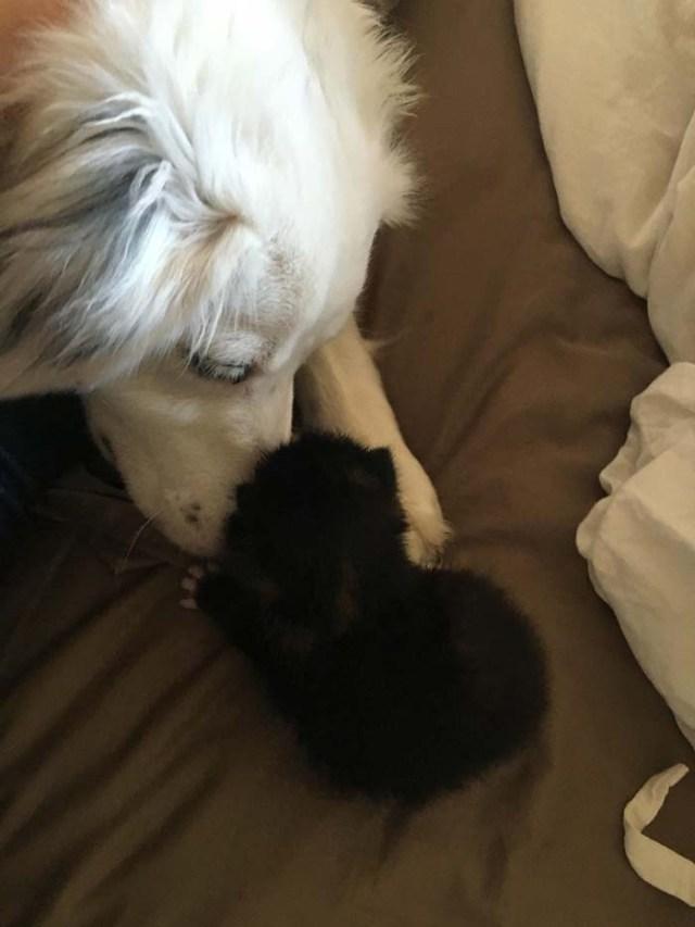 Perra si prende cura di un gattino