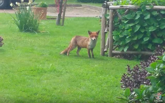 Fox madre in attesa che i suoi cria