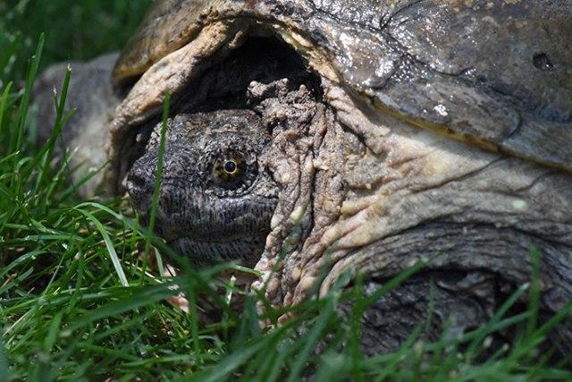 Tortoise con un attacco di cacciavite