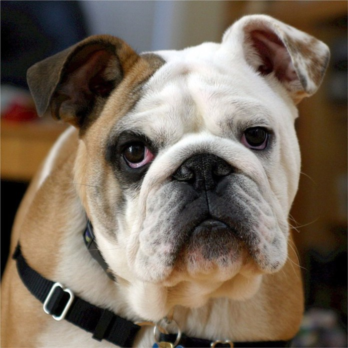 Evita la obesidad en los perros y te animal de compañía será más feliz