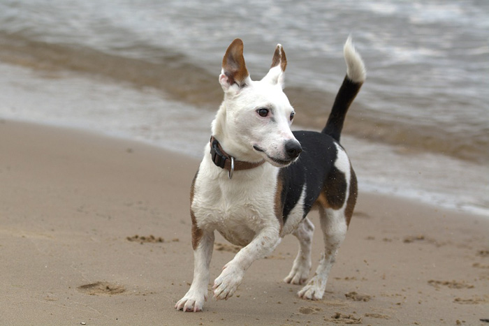 Artritis en perros