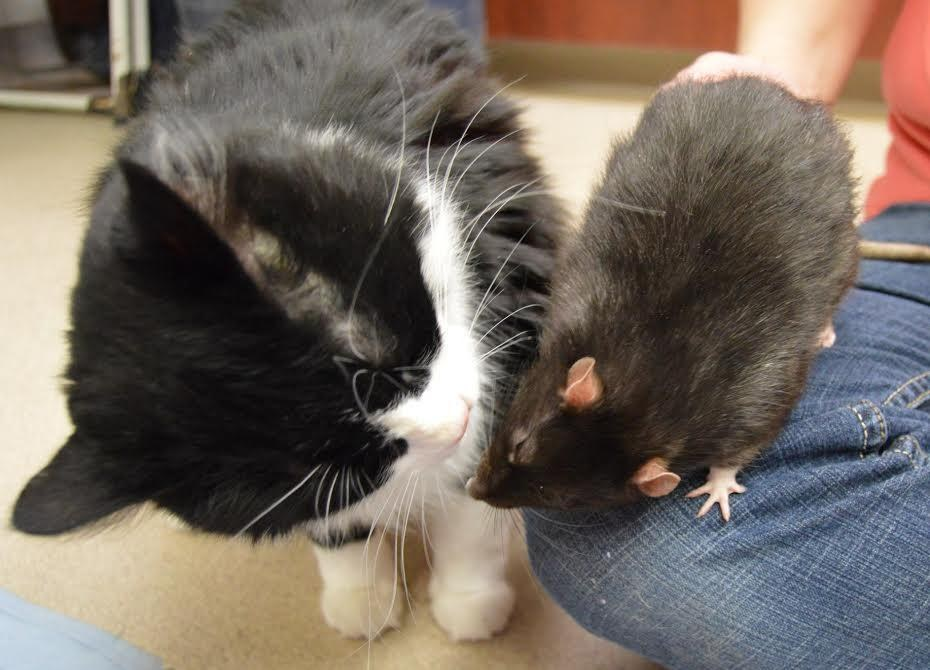 Gato y rata