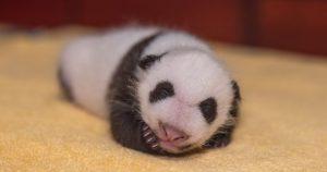 Adorable Cachorro panda de 1 mes de edad