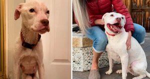 Pitbull de bajo peso antes y después