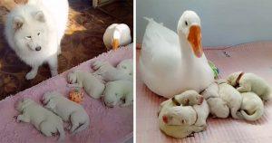 Perrita que acaba de dar a luz le pide ayuda a su amiga gansa para cuidar de sus cachorros