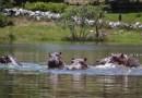 El incontrolable problema de los «hipopótamos de la cocaína» en Colombia: ni castración, ni reubicación, ni erradicaciónCNN