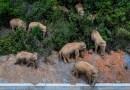 Por qué millones de personas en China no pueden dejar de observar a una manada de elefantes salvajes