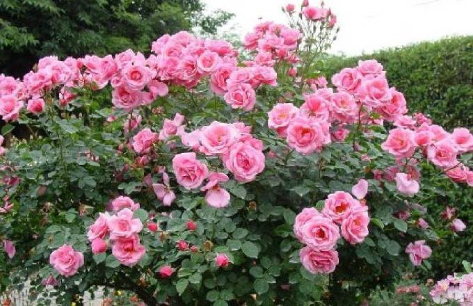 kebun budidaya bunga mawar