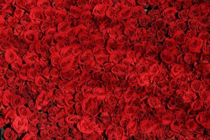 budidaya bunga mawar