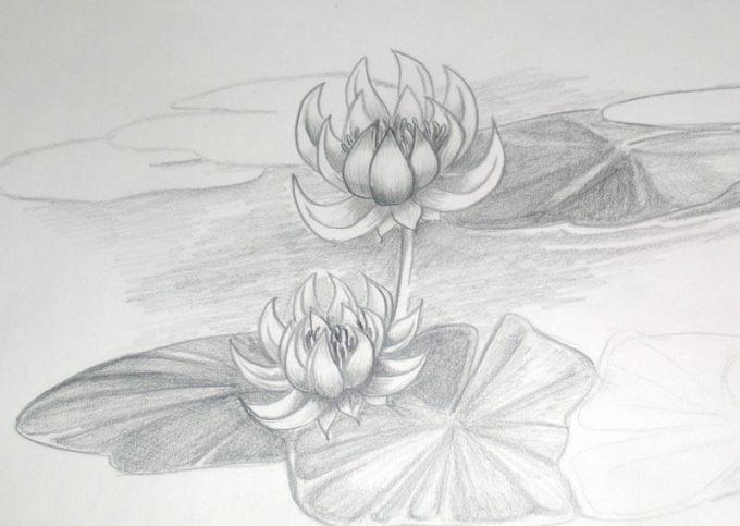 Gambar Sketsa Bunga Teratai Menggunakan Pensil