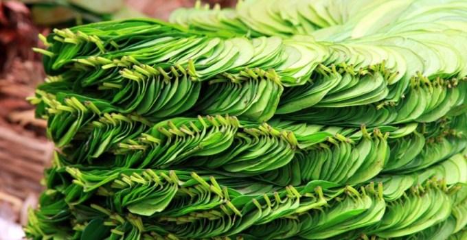 kandungan dan manfaat daun sirih