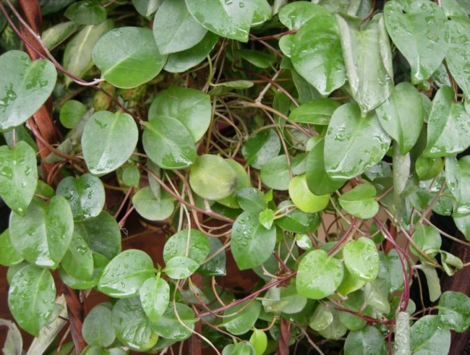 manfaat daun binahong dan kandungannya