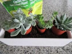 arrange-succulents