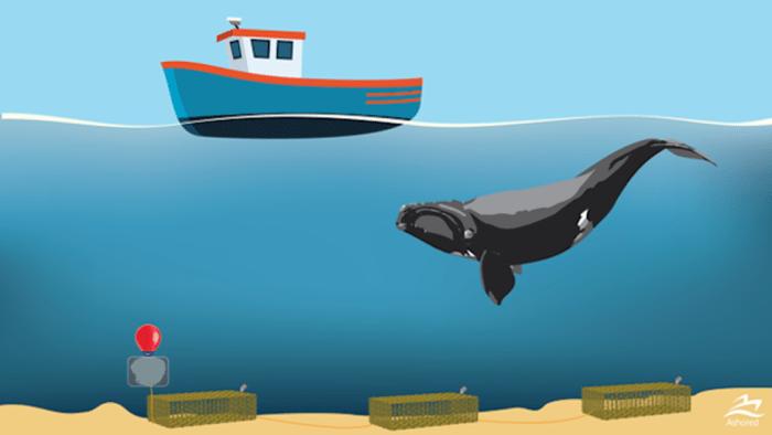 Cette figure présente des casiers sans cordage, une innovation technologique mise au point par Ashored Innovations, une entreprise de la Nouvelle-Écosse. Le système de pêche sans cordage, conçu pour la pêche du homard et du crabe, est activé par voie acoustique.