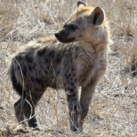 Postcards from Kruger: Hyenas