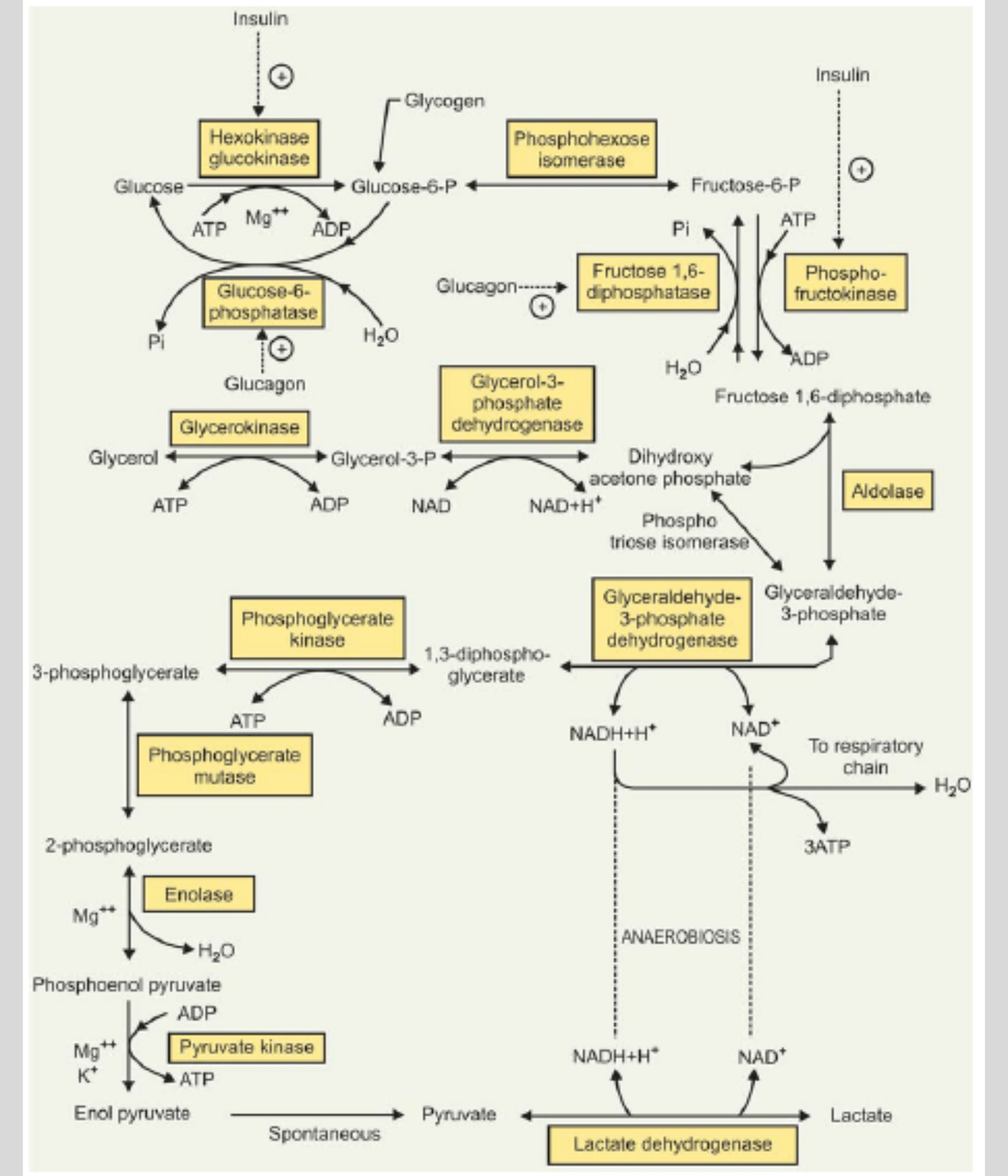 Read more about the article Glycolysis Pathway: Steps, Regulation, Inhibitors-NotesMed