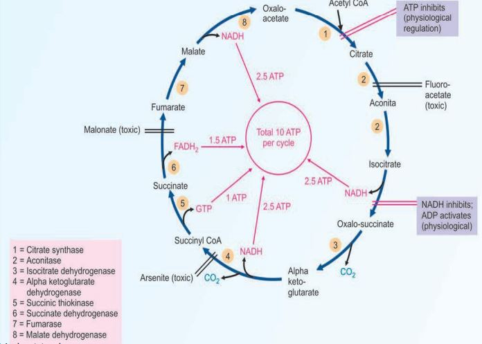 Read more about the article The Citric Acid Cycle: Functions, Reactions, Regulation, Inhibitors