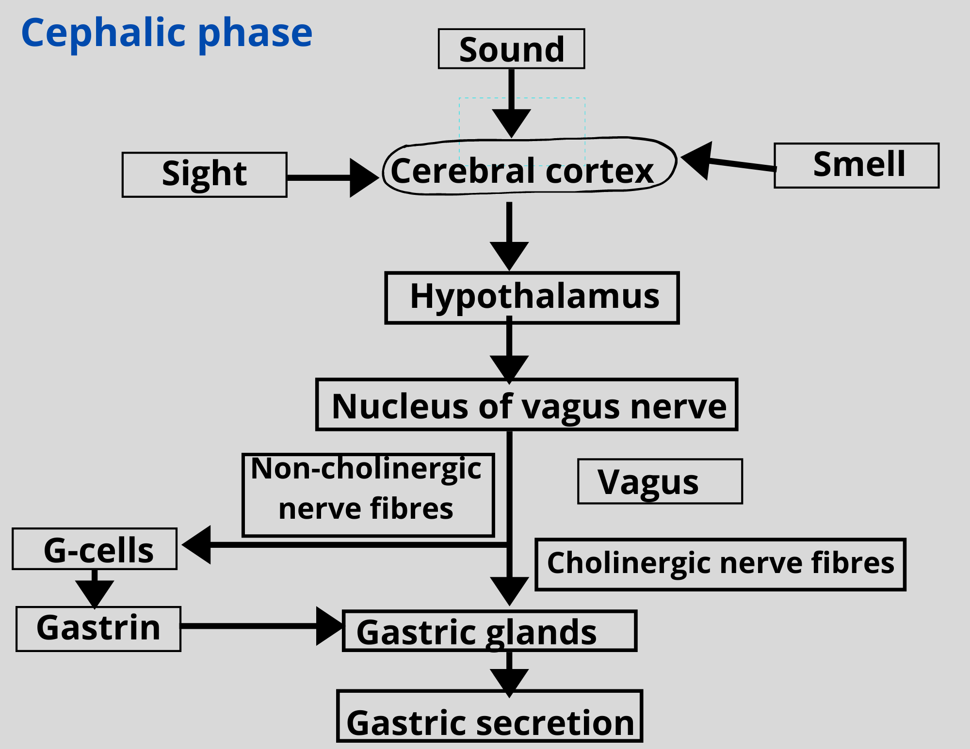Read more about the article Gastric acid secretion-Different phases-NotesMed