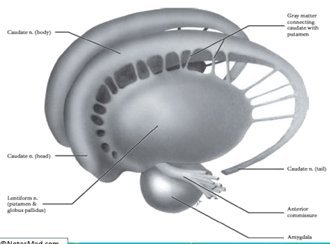 Read more about the article Basal ganglia-connections, functions, circuits, applied anatomy
