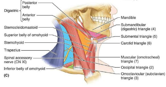 Read more about the article Carotid triangle contents: Boundaries, Applied anatomy