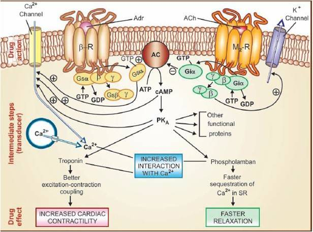 Read more about the article Pharmacodynamics: Types, MOA, Receptors, Terms-NotesMed