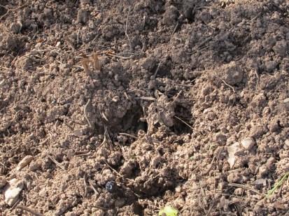 boar footprint1 11-2-15