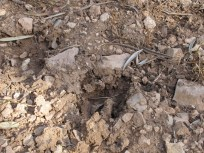 boar footprint3 11-2-15