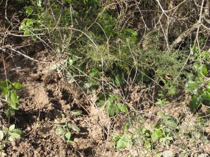 freshly dug earth beneath tree1 11-2-15