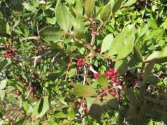 red berries - identify2 11-2-15