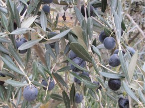 olives ready to harvest1 15-12-15