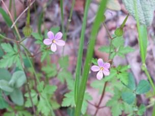 pink - Herb Robert2 14-4-15