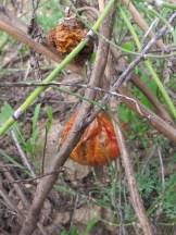 tomatoes1 15-12-15