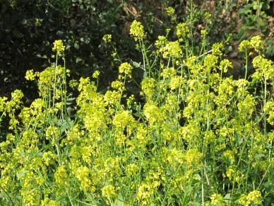 wildflowers, yellow - charlock 5-4-15