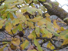 wrinkled walnuts on the tree 15-12-15