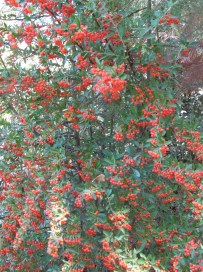 cotoneaster3 23-9-15