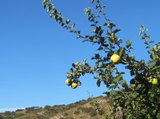 quince on the tree1 23-9-15