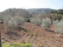 olive-grove1