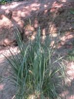 giant grass