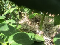 nest in the rose bush2