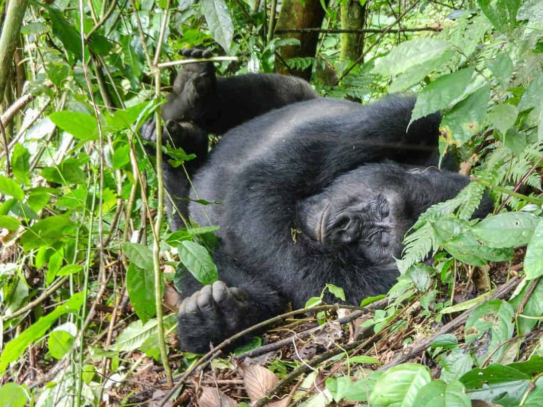 Visiting the Gorillas in Bwindi Impenetrable Forest NP, Uganda